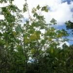 樹木/ゴールデンシャワーツリー