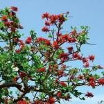 沖縄県の県花デイゴ