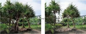 商品ディスプレイ用タコノキ出荷 樹高6mのタコノキ