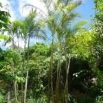 樹木/アレカヤシ/ヤマドリヤシ(山鳥椰子)
