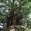 沖縄一!天然記念物・世名城のガジュマル