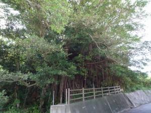 沖縄一の巨木!天然記念物・世名城のガジュマル