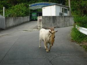 沖縄の珍風景〜野ヤギ〜現れる