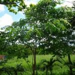 樹木/カリン(花梨)/インドシタン(印度紫檀)