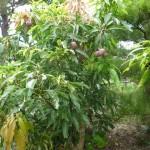 樹木/マンゴー