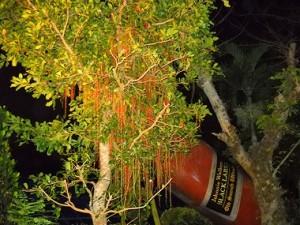 ジョニーの横で妖しく夜を彩るサガリバナ