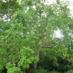 樹木/ソーセージノキ(樹)