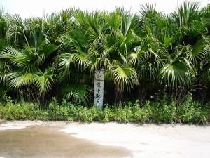 沖縄の珍風景〜ヤシの葉の受難〜ビロウ